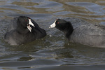 American Coots (Fulica americana) in late January.