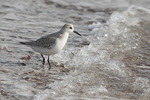 Sanderling (Calidris alba) in late February.