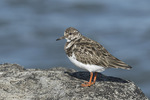 Ruddy Turnstone (Arenaria interpres) in late January.