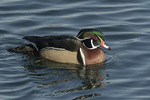 Male Wood Duck (Aix sponsa) in early February.