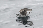 Fork-tailed Storm-Petrel (Oceanodroma furcata) in late July.