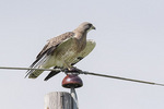 Liight morph Swainson's Hawk (Buteo swainsoni) in mid-July.
