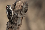Male Downy Woodpecker (Picoides pubescens) in early March.