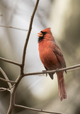 Male Northern Cardinal (Cardinalis cardinalis) singing in early March.