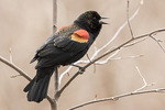 Singing male Red-winged Blackbird (Agelaius phoeniceus) in late March.