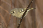 Hutton's Vireo (Vireo huttoni) in late March.