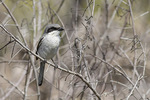 Adult Loggerhead Shrike (Lanius ludovicianus) in early March.