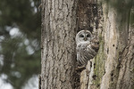 Barred Owl (Strix varia) at nest in tree cavity in late March.