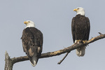 Bald Eagle (Haliaeetus leucocephalus) pair in late March.