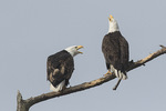 Bald Eagle (Haliaeetus leucocephalus) pair responds to another Bald Eagle passing overhead in late March.