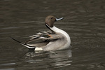 Male Northern Pintail (Anas acuta) in late March.
