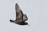 Black Oystercatcher (Haematopus bachmani) in flight in mid-March. Blaine, Washington.
