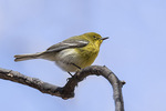 Male Pine Warbler (Setophaga pinus) in late March on spring migration.
