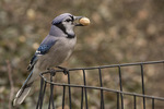Blue Jay (Cyanocitta cristata) with peanut perches on a fence in early April.
