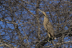 American Bittern (Botarus lentiginosus) perched high in a tree in late March on spring migration.