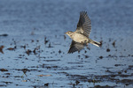 American Pipit (Anthus rubescens) in flight in early April on spring migration.