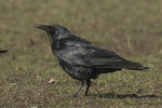 Fish Crow (Corvus ossifragus) in early April.