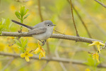 Blue-gray Gnatcatcher (Polioptila caeulea) in forsythia in late April on spring migraton.
