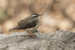 Louisiana Waterthrush (Parkesia motacilla) singing in early April on spring migration.