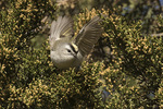 Golden-crowned Kinglet (Regulus satrapa) in Eastern Red Cedar (Juniperus virginianus) in early April on spring migration.