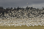 Lesser Snow Goose (Anser caerulescens) flock in flight in mid-March.