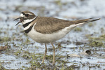 Killdeer (Charadrius vociferus) calling in early April.