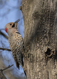 Male Northern Flicker (Colaptes auratus) vocalizing in late April.