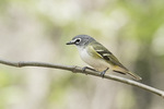 Blue-headed Vireo (Vireo solitarius) in early May on spring migration.