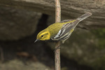 Adult male Black-throated Green Warbler (Setophaga virens) in early May on spring migration.