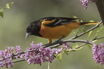 Adult male Baltimore Oriole (Icterus galbula) feeding in Redbud (Cercis canadensis) in early May.