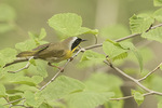Male Common Yellowthroat (Geothlypis trichas) on spring migration in early May.