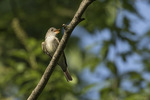 Eastern Wood-Pewee (Contopus virens) singing in late May on spring migration.