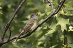 Great Crested Flycatcher (Myiarchus crinitus) calling in early June.