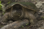 Female Common Snapping Turtle (Chelydra serpentina) laying eggs in sandy soil in early June.