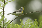 First-spring male Northern Parula (Setophaga americana) on spring migration in mid-June.