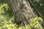 Northern Flicker (Colaptes auratus) pair at nest, male at left, in early June.