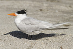 Royal Tern (Thalasseus maximus) in early March.