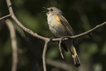 Immature male American Redstart (Setophaga ruticilla) singing in mid-June.