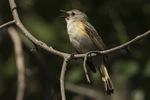 Immature male American Redstart (Setophaga ruticilla) singing in mid-June.