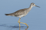 Juvenile Lesser Yellowlegs (Tringa flavipes) in late August on fall migration.