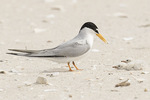 Least Tern (Sternula antillarum) with chicks in late June.