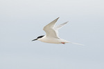 Roseate Tern (Sterna dougalli) in flight in late June.
