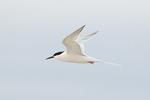 Roseate Tern (Sterna dougalli) in flight in late June.