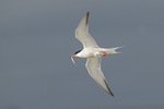 Common Tern (Sterna hirundo) in flight carrying a Sand Lance in late June.