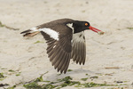 American Oystercatcher (Haematopus palliatus) in flight carrying Atlantic Mole Crab (Emerita talpoida) in late June.