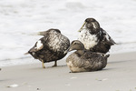 Common Eiders (Somateria mollissima) resting on the beach in late June.