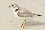 Adult Piping Plover (Charadrius melodus) in late June.