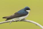 Adult Tree Swallow (Tachycineta bicolor) in late June.
