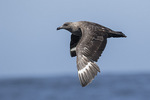 South Polar Skua (Stercorarius maccormicki) in flight in mid-July. Offshore from Gray's Harbor, Washington.