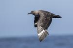 South Polar Skua (Stercorarius maccormicki) in flight in mid-July. Offshore from Gray's Harbor, Washington.